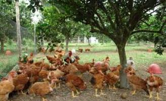 A pequena propriedade rural pode aumentar a renda explorando mais pequenas criações de galinhas