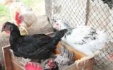 Tudo para o que o agricultor precisa saber sobre criação de galinhas caipiras e codornas