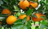 Caem as exportações brasileiras de citrus