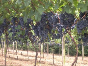 parreiral para suco de uva