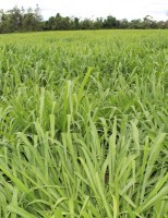 As condições climáticas determinam a hora de se fazer adubação nitrogenada da pastagem
