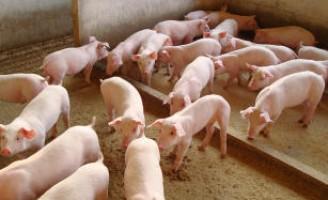 A peste suína clássica pode ser combatida com bom alimentação para os animais