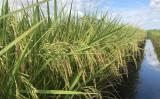 Uma semente de arroz que exige menos água para produzir