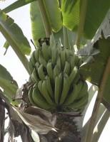 Você sabe o que é plátano? No Brasil já existem duas variedades registradas oficialmente