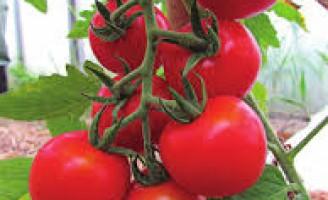 Clima quente acelera a maturação do tomate e faz preço da mercadoria baixar