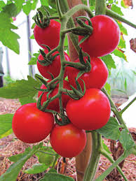 cacho de tomate