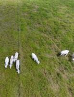 Tecnologia de última geração vai contar o gado nas pastagens brasileiras