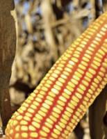 Chega ao mercado dois novos híbridos de milho