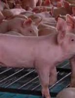 Pneumonia Enzoótica provoca sérios impactos na criação de porcos