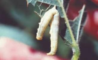 Controle biológico de pragas é caminho para uma agricultura sustentável