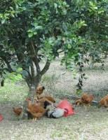 As pequenas propriedades podem aumentar a renda com uma boa criação de galinhas