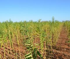Uma semente de gergelim que não ramifica e melhora a colheita mecanizada