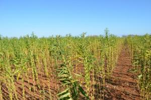 gergelim plantação