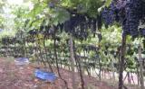 Uma nova metodologia para acompanhar o risco climático na produção de uvas
