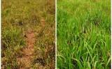 Pastagens mais verdes e produtivas com adubação foliar