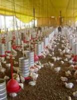 Avicultura mais produtiva com uma boa qualidade na nutrição das aves