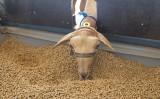 Alimentação que ajuda o desempenho na produção intensiva de caprinos e ovinos