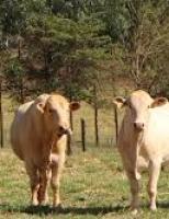 Um leilão especial de touros da raça canchim