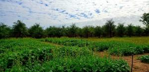 Canola - plantação