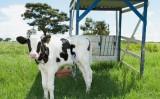 Os bezerros nascidos na fazenda exigem cuidados logo nas primeiras horas de vida