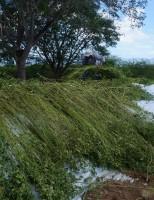 Alimento para caprinos e ovinos no período de escassez de pasto nativo