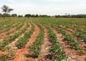mandioca - plantação