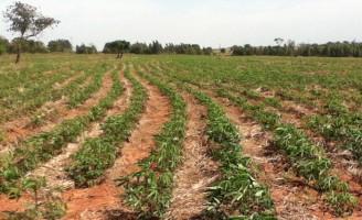 Orientação para o plantio de mandioca recomenda sistema de plantio direto como mais econômico e rentável