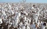 Estudo mostra quais as melhores regiões para plantar algodão herbáceo