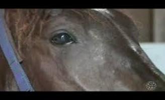 Parceria vai melhorar o diagnóstico do mormo em cavalos