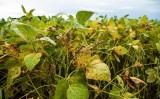 As principais pragas que atacam as plantações de soja no Nordeste