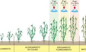 O combate às micotoxinas no trigo e seus derivados