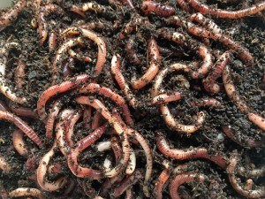 Earth worms for composter or fishing