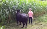 Artigo – O búfalo doméstico (Bubalus bubalis): esse animal existe sim!