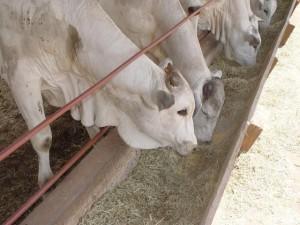 confinamento bovino 1