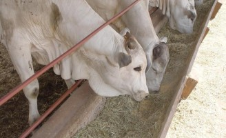 Excesso de concentrado na alimentação do gado confinado pode levar o animal a morte