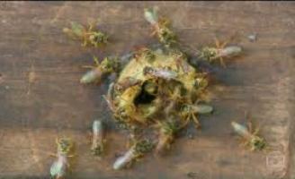 Produzir mel aumenta a renda do agricultor mas é preciso ter cuidado com a criação das abelhas