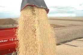 grãos + colheita