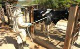 Como aplicar remédio no controle de carrapatos em bovinos