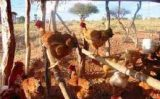 Mais renda e alimentação garantida para o agricultor com a criação de galinha caseira