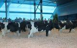 Uma tecnologia para oferecer mais conforto e produtividade nos estábulos de criação bovina