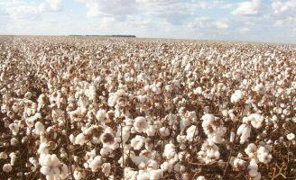 O Ceará começa a recuperar a produção de algodão com ajuda da Ciência