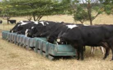 Manejo nutricional de vacas leiteiras melhora produção na fazenda e o meio ambiente