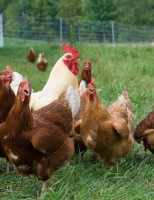 Conheça o frango colonial 041 – o caipira da Embrapa