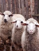 Manejo correto ajuda a conter o ataque de vermes entre ovinos