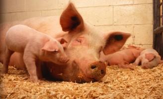 Dejetos suínos se transformam em fertilizantes Organominerais