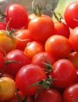 O tomate tipo cereja próprio para o cultivo orgânico
