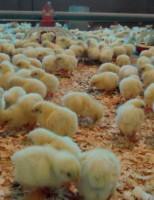 O calor é fonte importante para a criação de aves