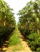 Seca provoca redução na safra de café brasileira