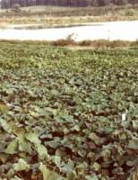 As utilidades do plantio da batata-doce