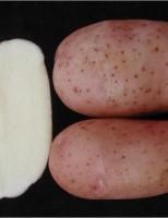 O agricultor já pode plantar novas cultivares de batata para a indústria